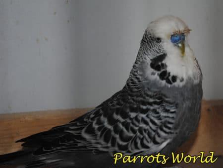 Чёрный волнистый попугайчик