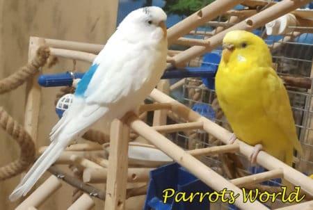 Чистокрылый попугай и лютино