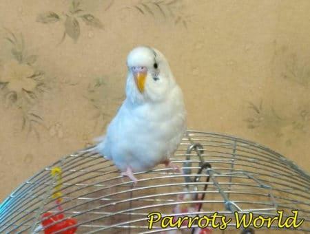 Чистокрылый волнистый попугай