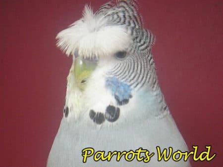 Хохлатый волнистый попугайчик