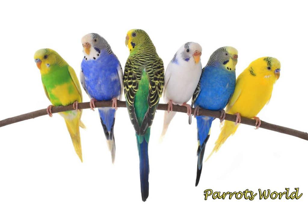 Разновидности попугайчиков
