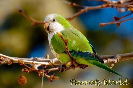 Попугай квакер в дикой природе