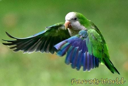 Попугай квакер