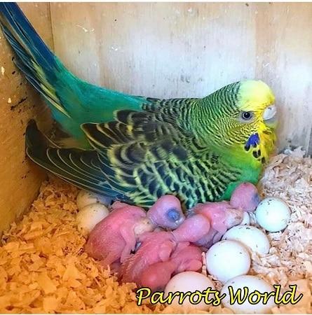 Самка с птенцами и яйцами волнистого попугая