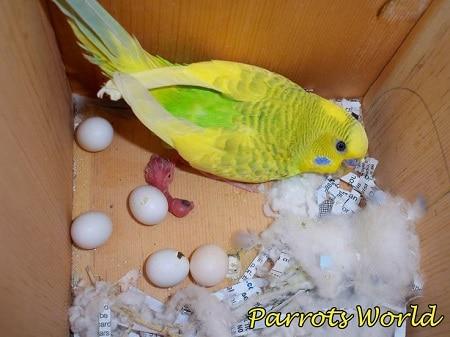 Попугай рядом с яйцами
