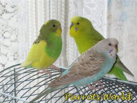 Серокрылый волнистый попугай