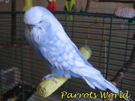 Волнистый попугай спэнгл