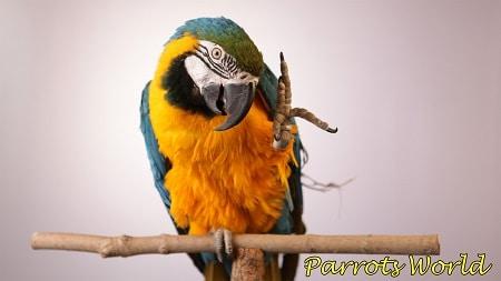 Попугай ара сидит на одной лапе