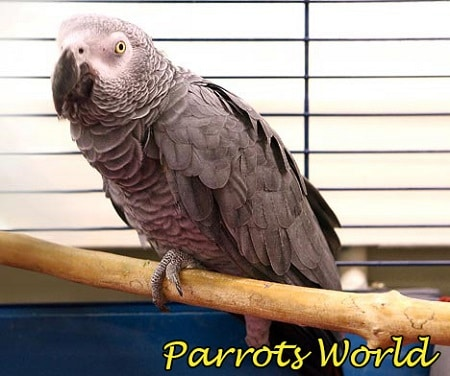 Попугай жако поджимает лапку