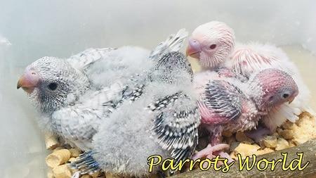 Оперившиеся птенцы