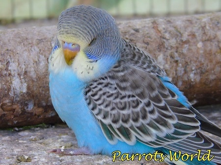 Волнистый попугай поджимает лапку и сидит на дне клетки