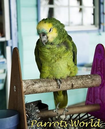 Попугай амазон сидит на одной ножке