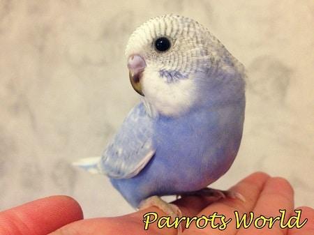 Птенец волнистого попугайчика сидит на руке