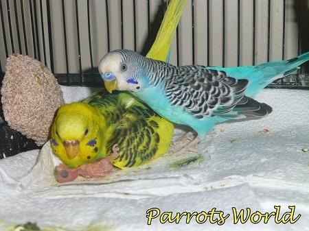 Самец и самка волнистого попугая с птенчиком