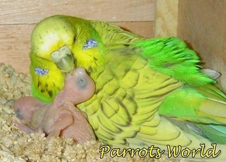Самка кормит птенцов