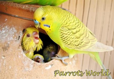 Волнистый попугай кормит птенцов