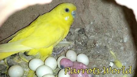 Самка волнистого попугая рядом с яйцами