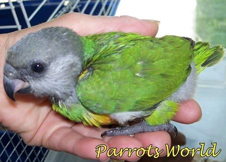 Птенец сенегальского попугая