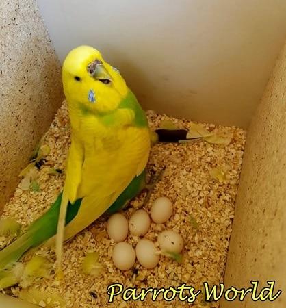 Самка попугая сидит на яйцах