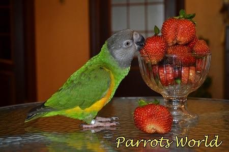 Сенегальский попугай ест клубнику