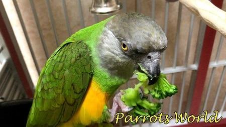 Сенегальский попугай кушает зелень