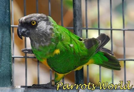 Сенегальский попугай в клетке