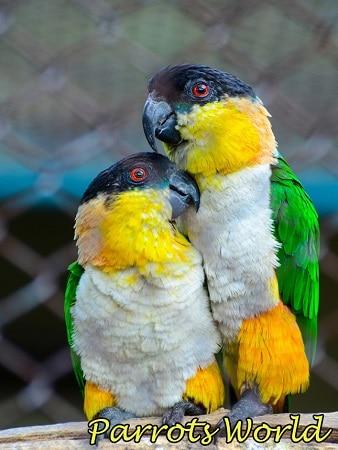 Черноголовый белобрюхий попугай