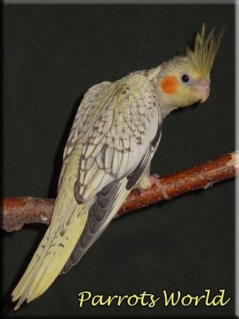 Перловая корелла