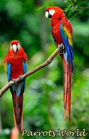 Два красных ары макао