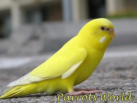 Волнистый попугай лютино