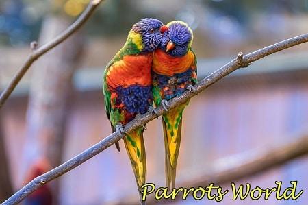Многоцветные лорикеты
