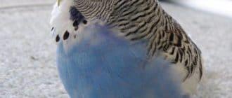 Ожирение у попугайчика