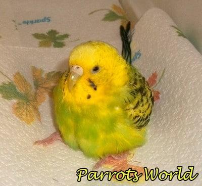 Отравление у попугая