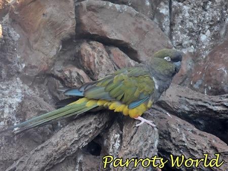 Скалистый патагонский попугай