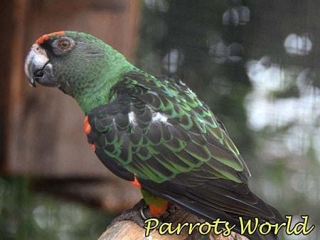 Конголезский попугай