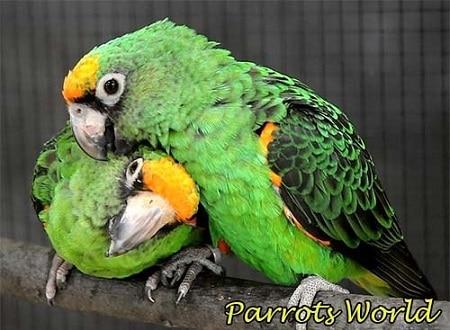 Два конголезских попугая