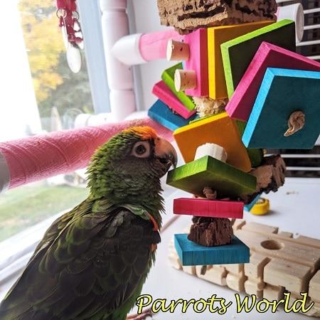 Конголезский попугай с игрушкой