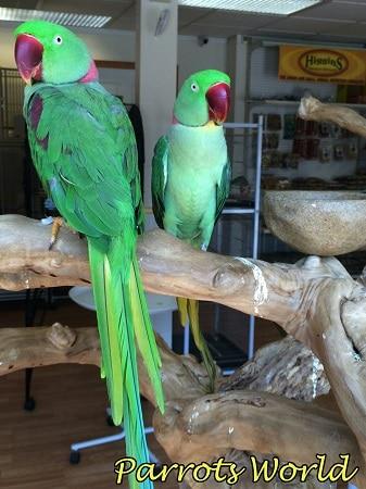 Характер попугая