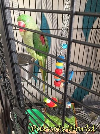 Клетка для александрийского попугая