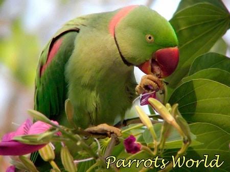 Александрийский попугай