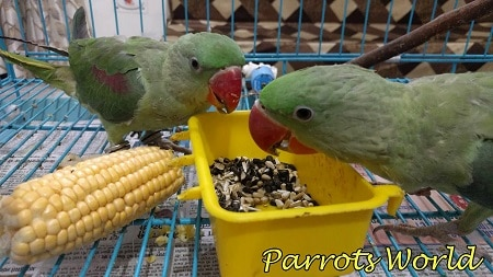 Питание александрова попугая