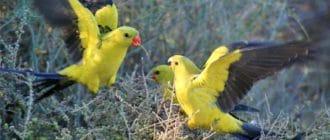 Стая горных попугаев