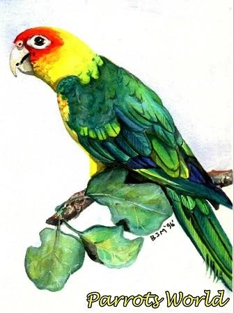 Картинка каролинского попугая
