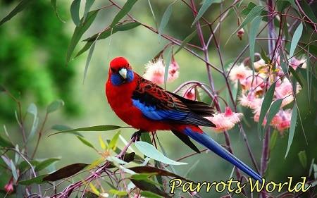Попугай розелла