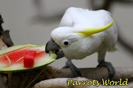 Какаду ест арбуз