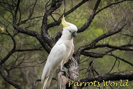 желтохохлый попугай