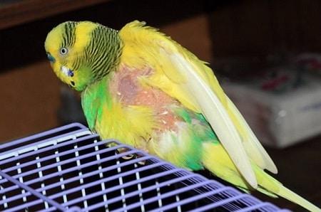 Самоощип у попугая