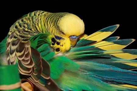 Попугай вычёсывает перья